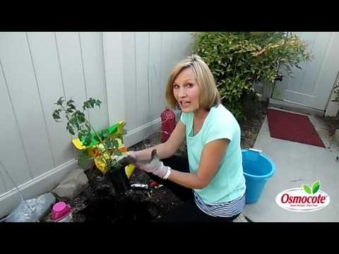 Planting New Tomato Plants for Summer