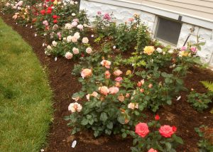 Beginning Blooms in the Rose Garden